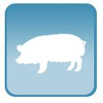 Узи для супоросности свиней