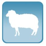 УЗИ для суягности овец