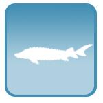 УЗИ для рыбоводства, осетровых рыб