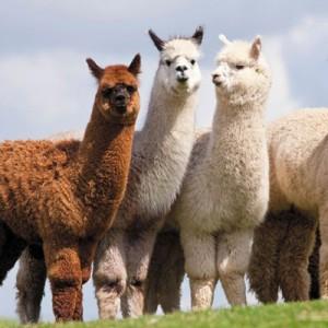 Ветеринарное УЗИ для диагностики беременности альпак